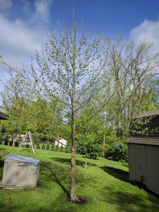 sycamoretree